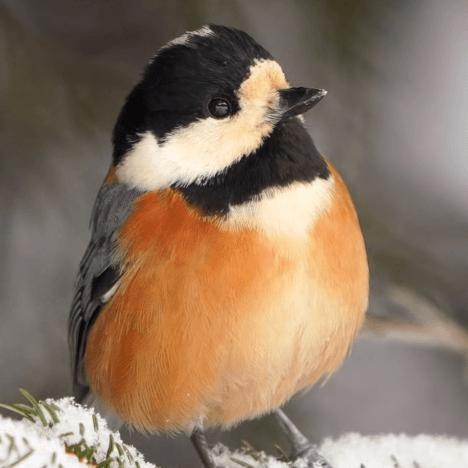 【野鳥撮影】小鳥を解像感よく撮る設定と方法/ ヤマガラ【作例解説/α7RIII】